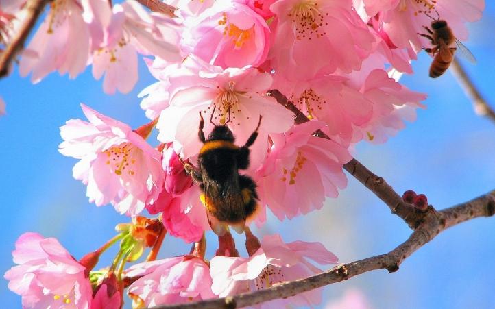 abeille fond écran wallpaper