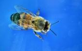 fond écran abeille