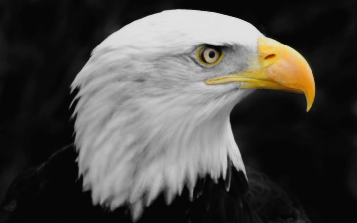 American Conductor Heads : Fond d écran gratuit aigle fonds animaux