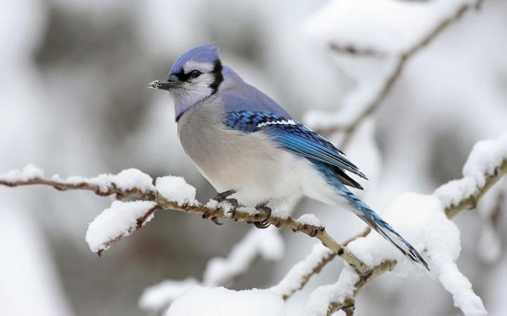 Blue_Bird fond écran wallpaper