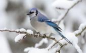 fond écran Blue_Bird