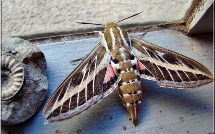 Walking on leash dog hunting dog training mn papillons de nuit - Gros papillon de nuit dangereux ...