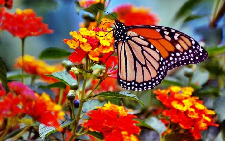 Fond D Ecran Gratuit 49 Papillon Fonds D Ecran Animaux Gratuits 49 Papillon