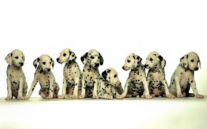 06-chiots dalmatien fond écran wallpaper