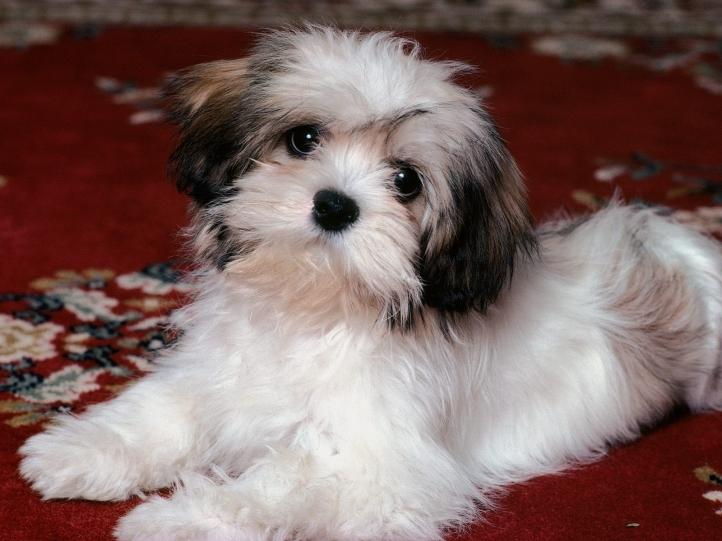 Fond d 39 cran gratuit chiens chiots fonds d 39 cran - Chiots gratuit ...