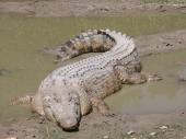 fond écran Crocodile