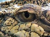 fond écran Yeux crocodile