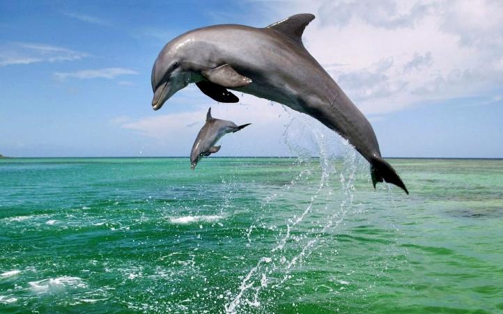 02-dauphin fond écran wallpaper