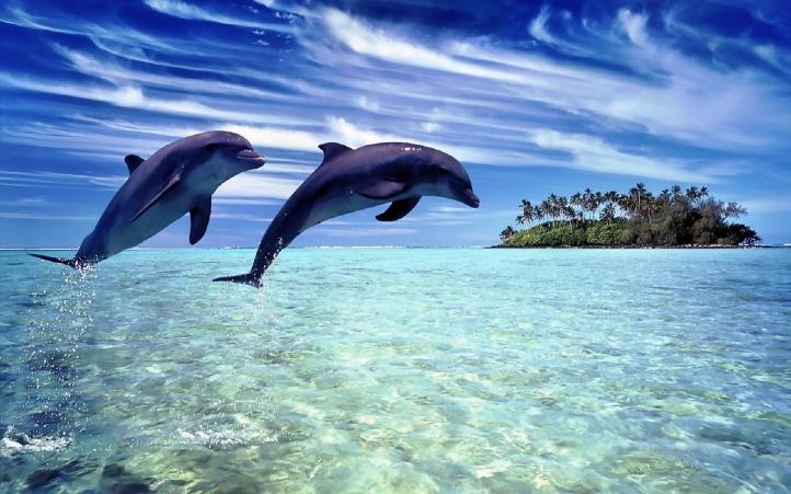 03-dauphin fond écran wallpaper