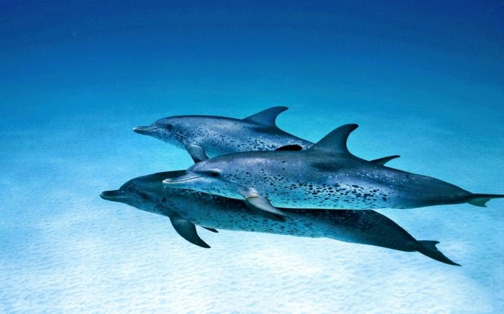 Fond d'écran gratuit 04-dauphin - Fonds d'écran animaux gratuits ...