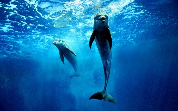 05-dauphin fond écran wallpaper