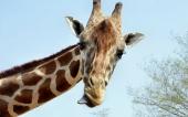 fond écran 01-girafe