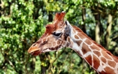 fond écran 03-girafe