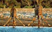 fond écran 04-girafe