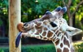 fond écran 05-girafe
