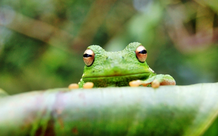 10-grenouille fond écran wallpaper