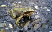 fond écran 18-grenouille