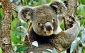 fond écran 01-koalas
