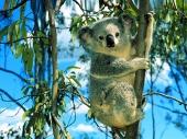 fond écran Koalas