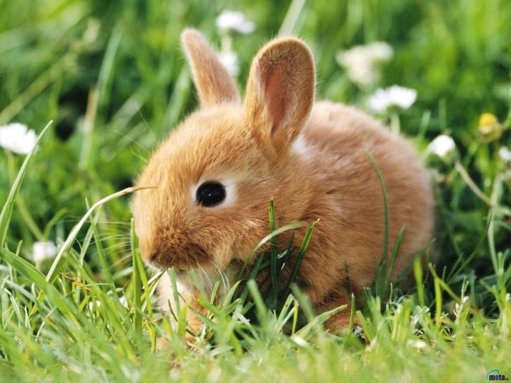 fond d'ecran gratuit lapin