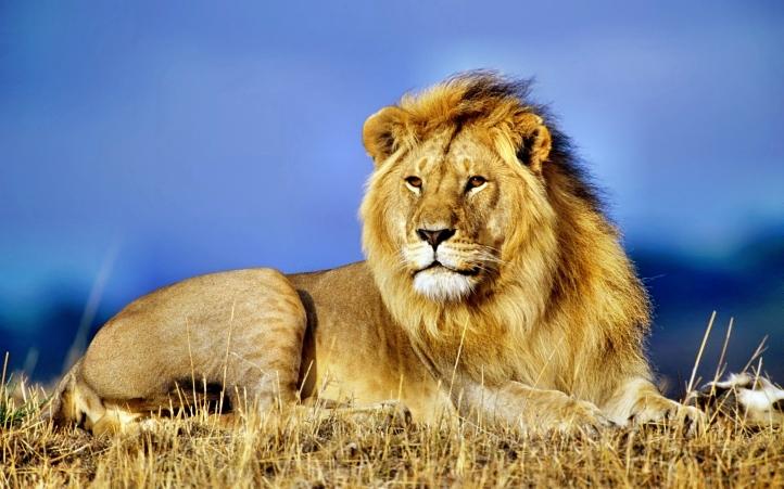 fond d 39 cran gratuit lion fonds d 39 cran animaux gratuits lion 929. Black Bedroom Furniture Sets. Home Design Ideas