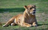 fond écran lion-11