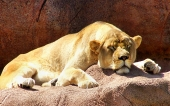 fond écran lion-12
