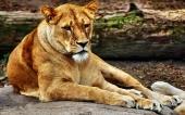 fond écran lion-13