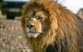 fond écran lion-19