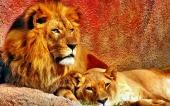 fond écran lion