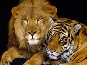 fond écran Lion & Tigre