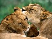 fond écran Lions