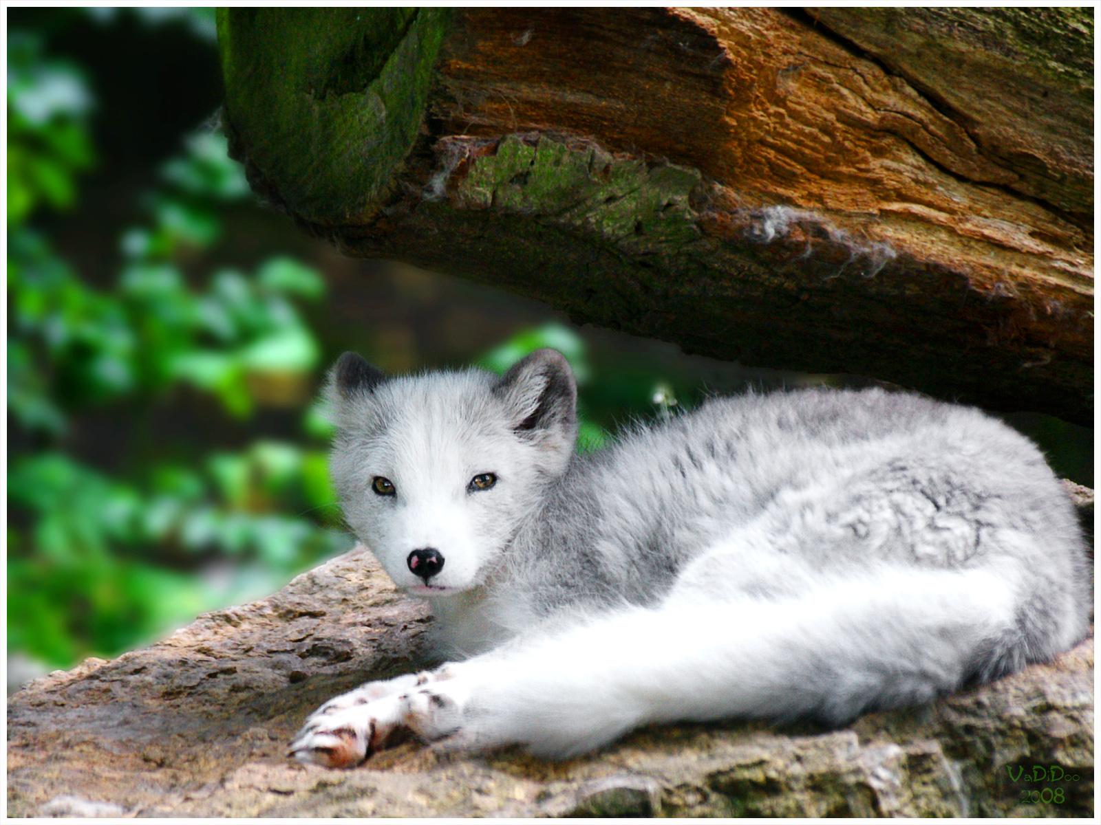 Fond d'écran Loup Blanc en cours de vote  loup-blanc