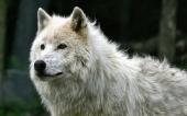fond écran 02-loup