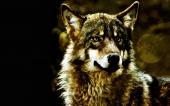 fond écran 03-loup