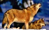 fond écran 05-loup