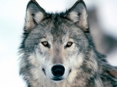 fond écran Loup