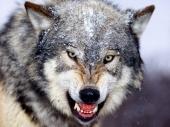 fond écran Loup énervé