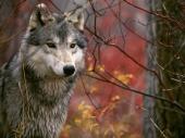 fond écran Loups