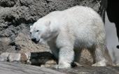 fond écran ours blanc-08
