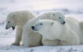 fond écran ours polaire blanc-09