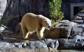 fond écran ours polaire blanc-11