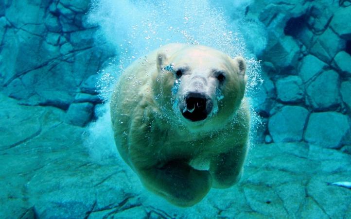 ours blanc fond écran wallpaper
