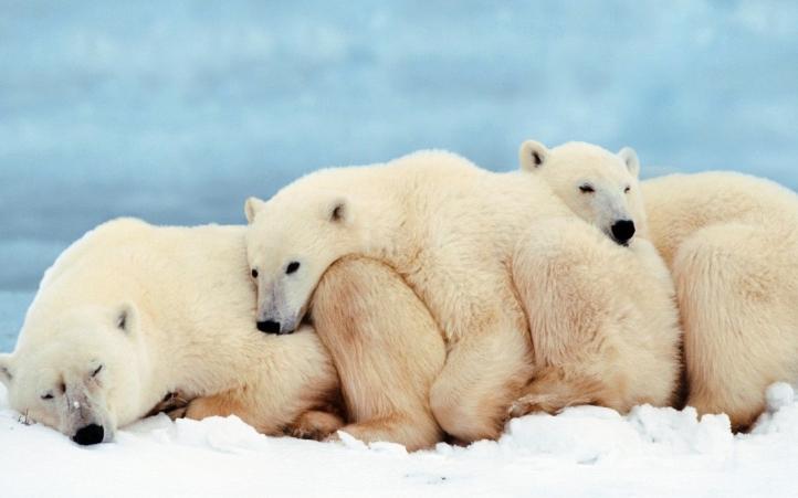 ours polaire blanc-10 fond écran wallpaper