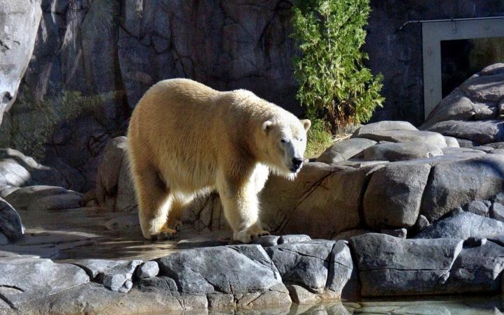 ours polaire blanc-11 fond écran wallpaper
