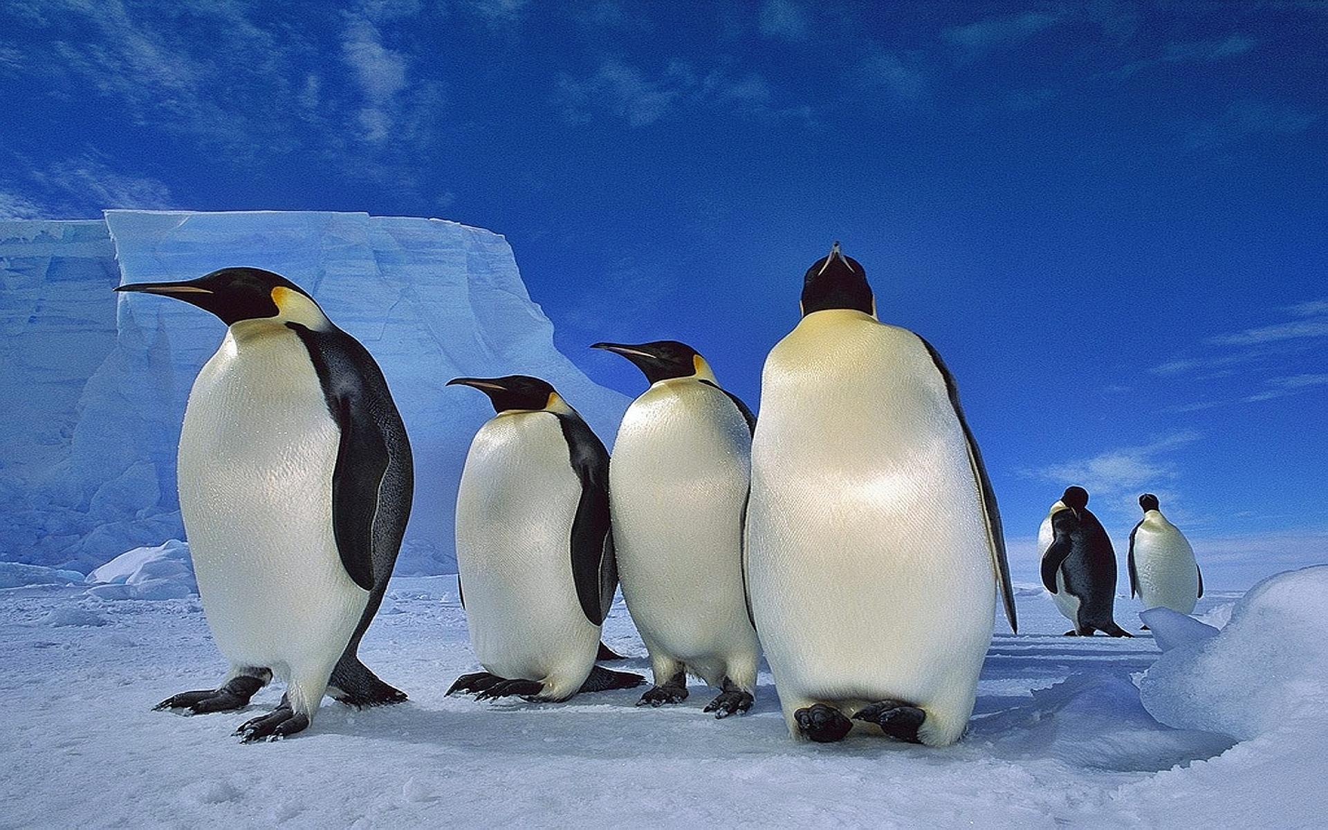 fond d 39 cran 07 pingouin en cours de vote 07 pingouin. Black Bedroom Furniture Sets. Home Design Ideas