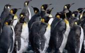 fond écran 02-pingouin