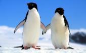 fond écran 04-pingouin