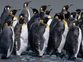 fond écran Pingouins