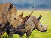 fond écran Rhinoceros
